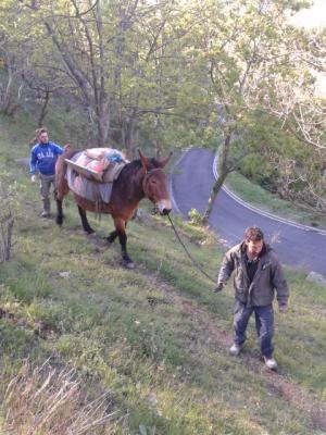 Portage de sacs de ciment avec la mule